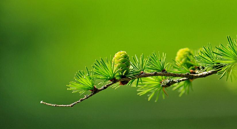 Andere coniferensoorten