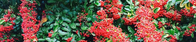 Informele wintergroene haagplanten