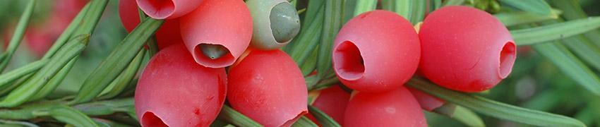 Zaadjes en naalden van de Taxus